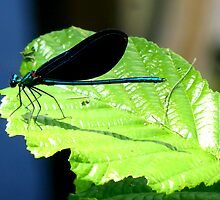 Blue Damselfly by ©The Creative  Minds