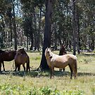 Brumbies in the Sun by Laura Sykes