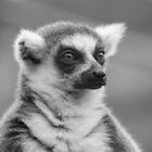 Ring-tailed Lemur by ChrisMillsPhoto