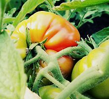 Garden Tomato by EvelynR