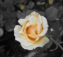 Master Of Rose by Priyank