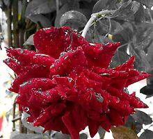 Master Peace Rose by Priyank