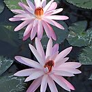 Waterlily  - Nymphaea by Margaret  Hyde