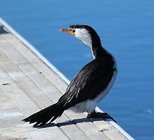 Australian Pied Cormorant by Chris Kean