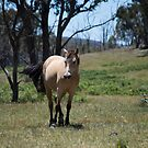 The Little Brumby by Laura Sykes