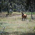 Brumby in the Bush by Laura Sykes