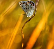 Common blue by NorbertG
