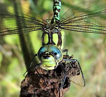 Southern Hawker, 21 by Magic-Moments