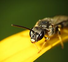 Bee 1 by photonista