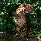 Amur Leopard by Tom Gomez