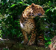 Amur Leopard by Tom Gomez