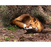 Red Fox Resting Photographic Print