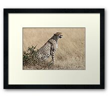 Looking About, Cheetah, Maasai Mara, Kenya Framed Print