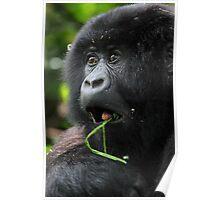 Surprised at Lunch!! Juvenile Mountain Gorilla. Poster
