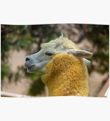 Alpaca Vicugna pacos Poster
