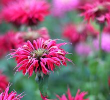 Bee Balm by AbigailJoy