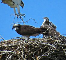 Osprey Nest Builder by gcampbell