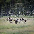 Oxley Brumbies by Laura Sykes