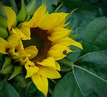 Sunflower by Halobrianna