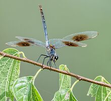 Four Spotted Pennant Dragonfly on Leafy Branch by Bonnie T.  Barry