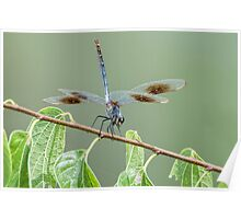 Four Spotted Pennant Dragonfly on Leafy Branch Poster