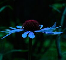 Blue Hued Cone Flower by Adam Kuehl