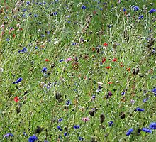 Cotswold Wild Flowers by DRWilliams