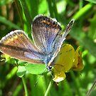 Lovely little Blue by ienemien