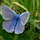 Common Blue by jesika