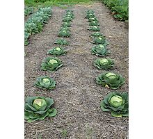 Of Kingly Cabbages Photographic Print
