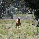 Brumby through the Trees by Laura Sykes