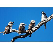 Babies Day  Out  Kookaburra's  Canberra Australia Photographic Print