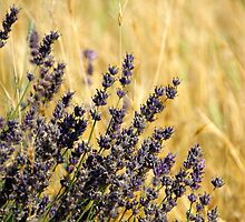 Lavender  by vbk70