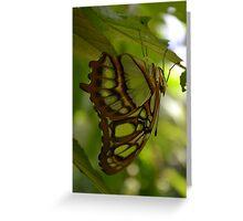 Siproeta Stelenes (Malachite) Greeting Card