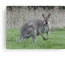 Skippy watching Canvas Print