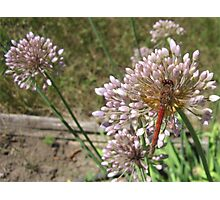 Red Dragon Fly on Garlic Onion Flower Photographic Print