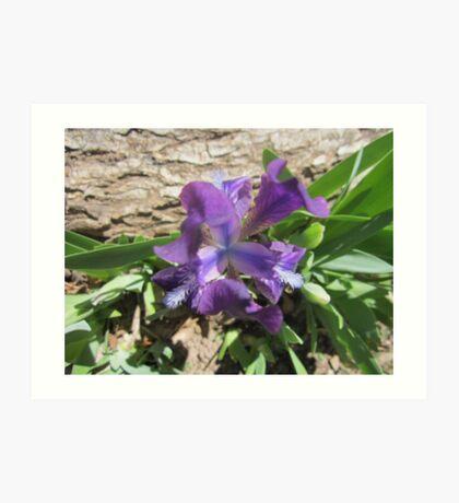 Dwarf Iris Art Print