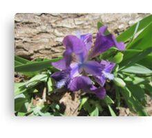 Dwarf Iris Canvas Print