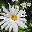 Shasta Daisy With Bee by DConsortium