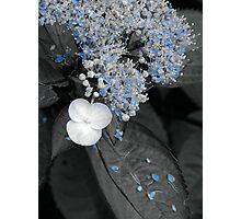 Blue Lace Hydrangea Photographic Print