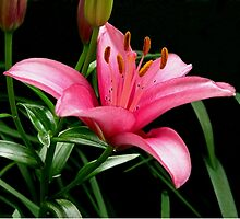 Oriental Lily by mussermd