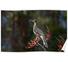 Wattle Bird - Has been pigging out on flax flowers Poster