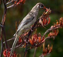 Wattle Bird feeding on flax flowers by pcbermagui