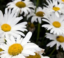 large wild irish daisies by morrbyte
