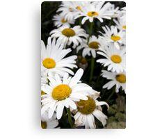 large wild irish daisies Canvas Print