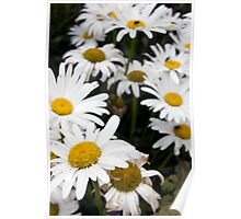 large wild irish daisies Poster