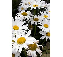 large wild irish daisies Photographic Print
