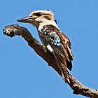 The Kookaburra by hurky