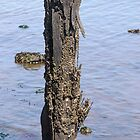 Barnacle Encrusted Piling by Mark Fendrick