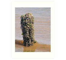 Barnacles and Shells Art Print